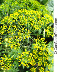 Fennel growing on a bed - Beautiful green fennel growing on...
