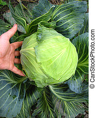 the hand and big head of ripe and green cabbage