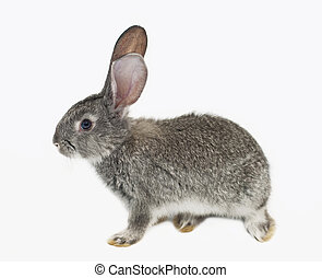 Gray rabbit - grey rabbit on a white background