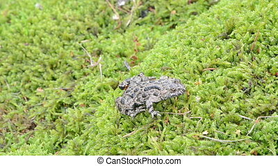 fire bellied toad bombina - european fire-bellied fire...