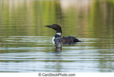 Common Loon - Common loon floating on a calm northern lake...