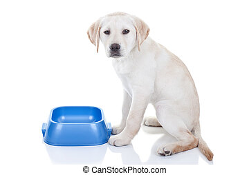 Funny Hungry Dog - Funny hungry Labrador retriever puppy dog...