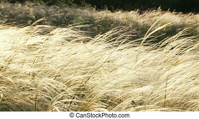 Feather grass in the wind