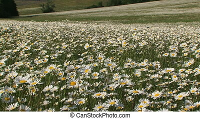 Blooming daisies - Field of blooming daisies in the wind