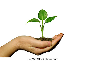 plant in hands -  holding a plant between hands on white