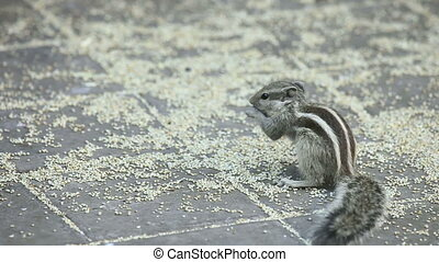 Solitary feast - Chipmunk eating grain on the ground.