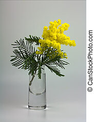 Mimosa - Twig with fluffy blooming mimosa flowers in vase