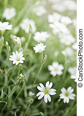 Floral background of cerastium snow-in-summer flowers close...