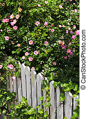 Garden fence with roses - Garden fence with blooming roses...