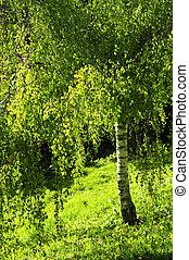 綠色, 樹, 樺樹