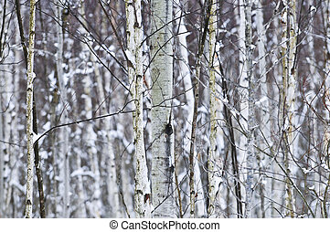 Tree trunks in winter