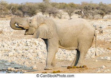 African elephant drinking water - African elephant...