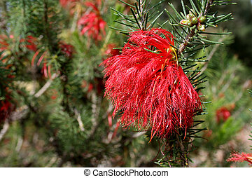 One-Sided Bottlebrush - West Australian wildflower -...