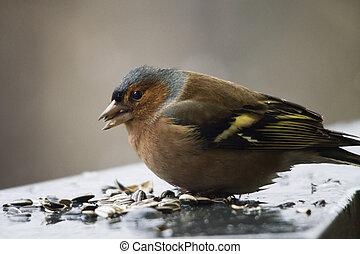 Finch in winter