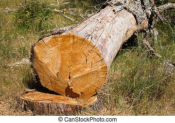 dead oak tree - Detailed view of just cut down oak tree and...