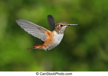 Rufous Hummingbird Selasphorus rufus in flight