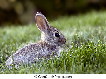 Western Brush Cottontail Rabbit - Young Western Brush...