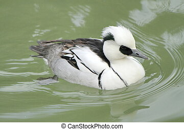Male duck smew - White male duck smew floating on the water