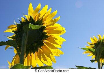 sunflower under blue sky - this photo taken at Chita in...