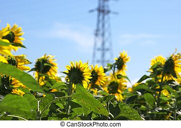 field of sunflowers under blue sky - this photo taken at...