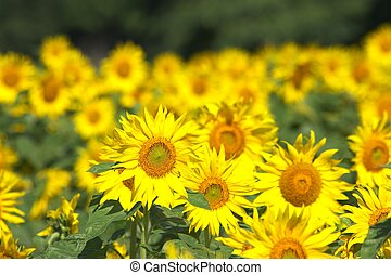 field of sunflowers - this photo taken at Chita in Aichi