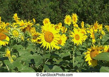 sunflower garden - this photo taken at Chita in Aichi