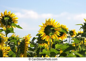 sunflower garden - this photo taken at Chita in Aichi