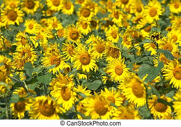 full bloom of sunflowers - this photo taken at Chita in...