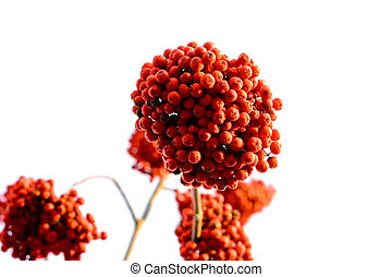 Ashberry - Red ashberry bunches isolated on white background