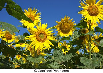 large sunflower under blue sky - this photo taken at Chita...