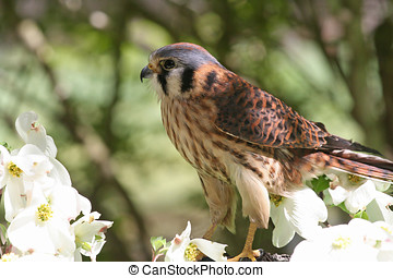 American Kestrel, a Member of the Hawk Family - American...