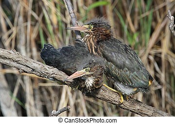 Green Heron Fledglings (Butorides virescens)- Everglades...