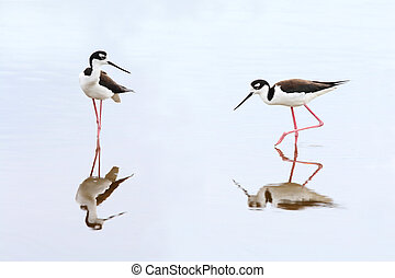Pair of Black-necked Stilts - Everglades National Park -...