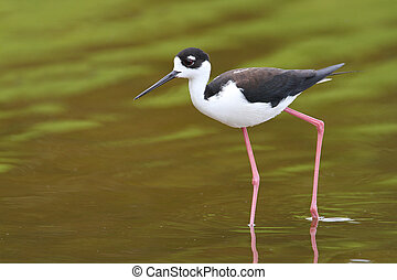 Black-necked Stilt - Everglades National Park - Black-necked...
