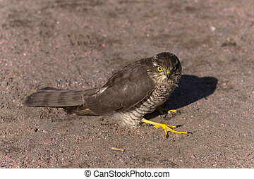 Pernis apivorus - bird of prey sitting on the ground