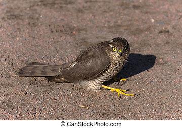 Pernis apivorus - bird of prey sitting on the ground