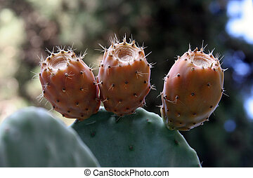 Opuntia with ripe fruits