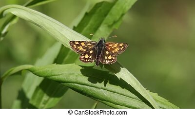 Chequered Skipper (Carterocephalus Palaemon) on a flower,...