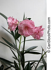 Oleander flower - Beautiful pink oleander next to the wall