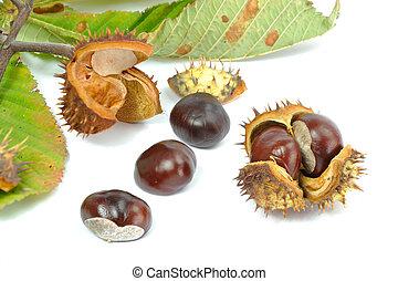 Wild Chestnut or Horse Chestnut - Aesculus hippocastanum -...