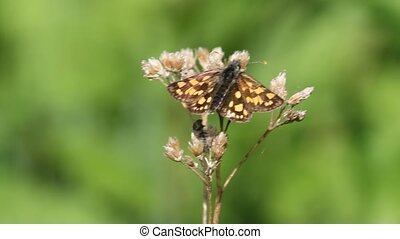 Chequered Skipper (Carterocephalus Palaemon) sitting on a...