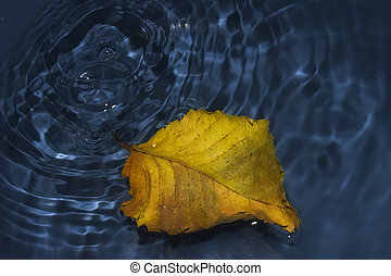 Poplar leaf on water