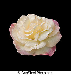 Hybrid Tea Rose variety quot;Peacequot; - Raindrops on a...