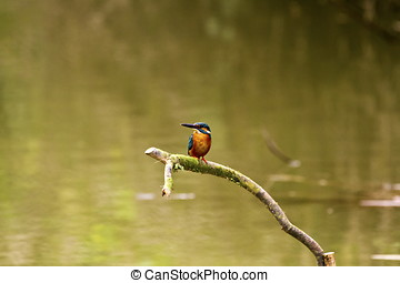 male common kingfisher,Alcedo atthis