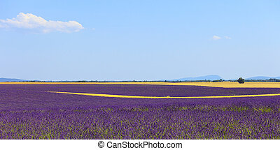 Lavender flowers blooming field, wheat lines and trees....