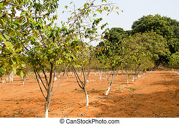 Sugar Apple trees - Rows of sugar apple trees growing in the...