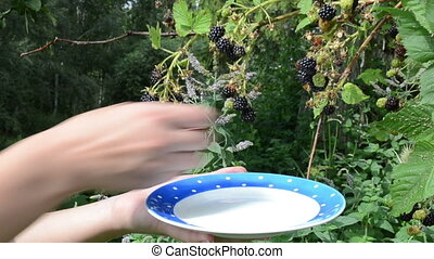 woman black berry dish - woman hands pick gather collect...
