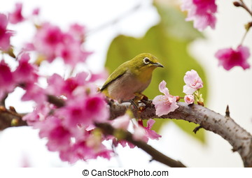 Japanese White-eye with pink cherry blossoms - Japanese...