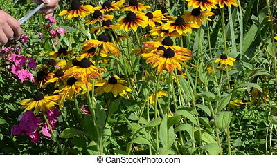 hand cut rudbeckia flower - woman hands cut pick rudbeckia...