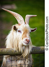 Billy goat - close up of a goat looking out over fence